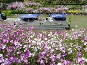 浜名湖花博会場のアグロステンマ