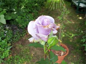 青いバラ オンディーヌ