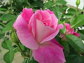 ピンク アイスバーグ・オーストラリア