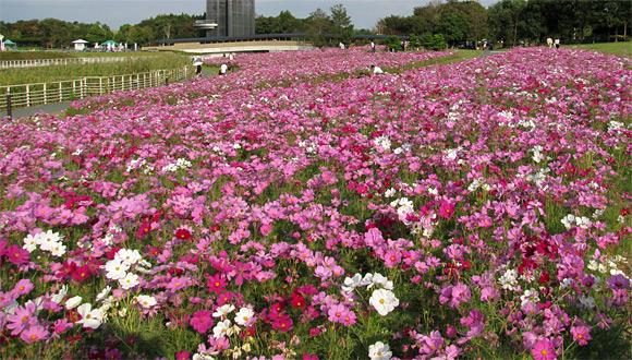 浜名湖ガーデンパークのコスモス