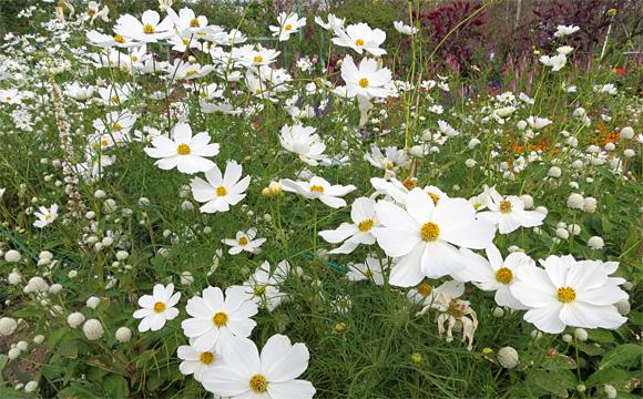 浜名湖ガーデンパークの白いコスモス