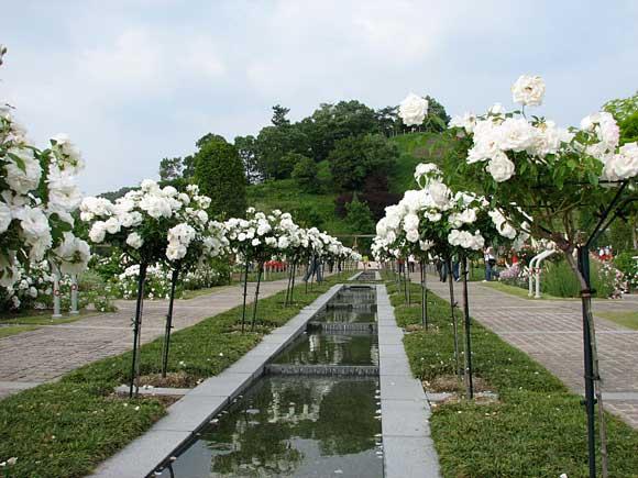 ホワイト ローズ ガーデン