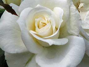 ホワイト クィーン(日本)