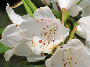 赤星石楠花