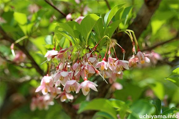紅花エゴノキ