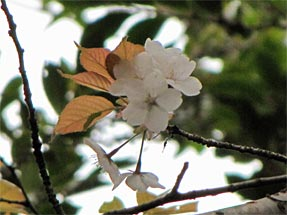 御所左近の桜