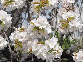 山桜枝垂れ