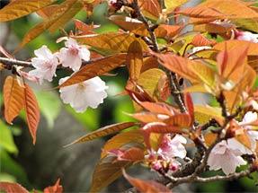 揖斐の二度桜