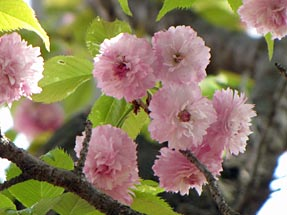 火打谷菊桜