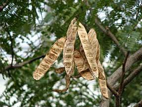 ネムノキの種子
