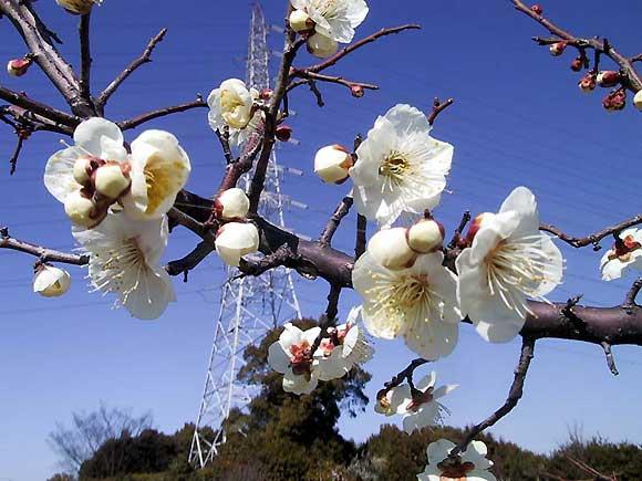 佐布里の梅