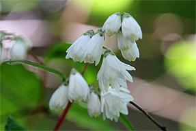 白花八重空木