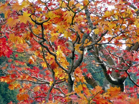 春野の紅葉
