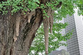 品川寺のイチョウ