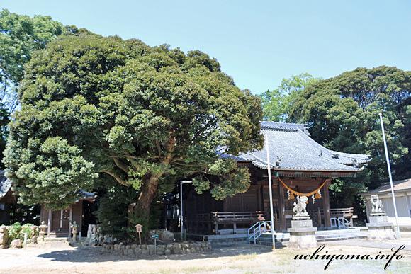 熊野神社のスダジイ
