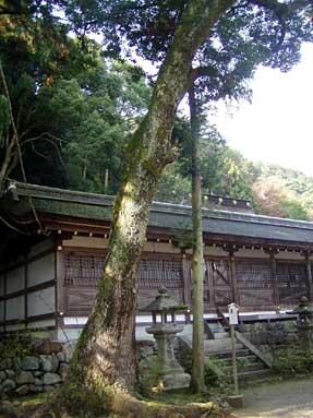 クスノキ(楠)・松尾大社