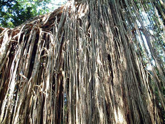 シメコロシノキの根
