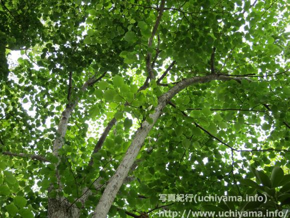 シナノキの画像 p1_24