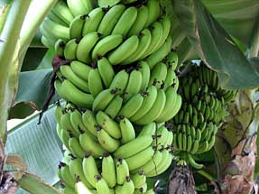 浜松市フルーツパーク・バナナ