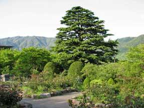 強羅公園・ヒマラヤ杉
