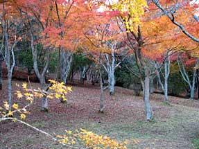 修善寺自然公園・もみじ林