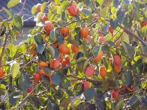 保育園庭の柿