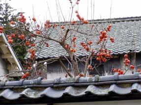真田邸の塀越しの柿
