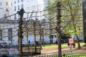 菩提樹の生垣