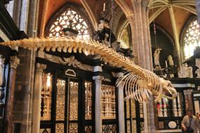 ゲント・聖バーフ大聖堂・ナガスクジラの骨格標本
