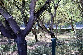 シントラ〜ロカ岬への道風景・コルクの樹