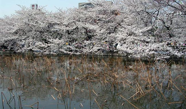 東京・不忍池