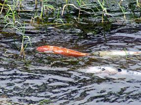 津和野川の鯉