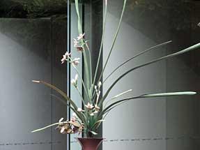 池坊前・水仙一色の立花