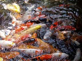 餌を求めて寄ってくる鯉の群れ