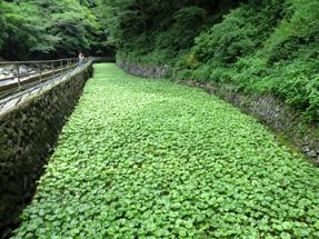 浄蓮の滝・わさび田