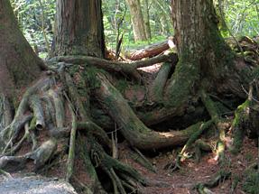 樹海特有の露出する樹木の根
