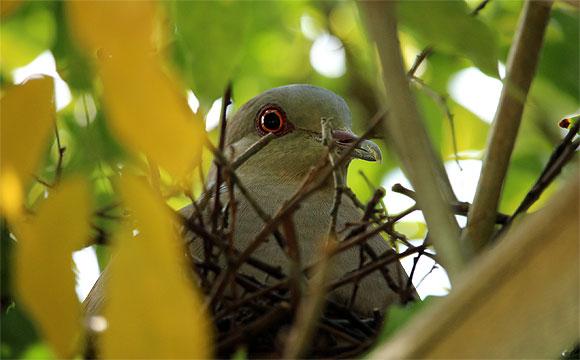 ハト鳥の巣