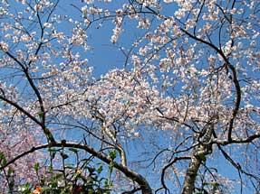 恵心院・三春滝桜の子木