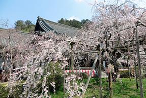 毘沙門堂の大しだれ桜