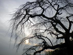 地蔵禅院・シダレザクラ