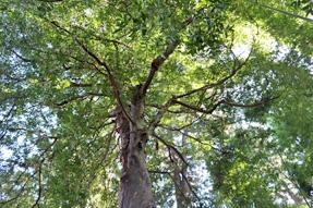 龍潭寺・梛の木