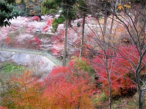 西運寺・四季桜と紅葉