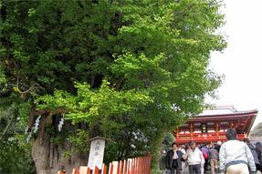 鶴岡八幡宮・大銀杏