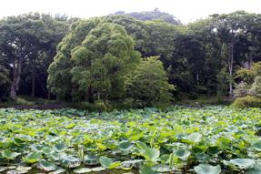 鶴岡八幡宮・平家池