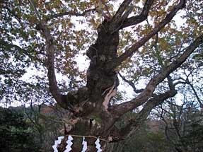 那須温泉神社・御神木「生きる」