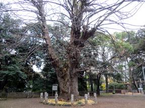 氷川神社の大イチョウ