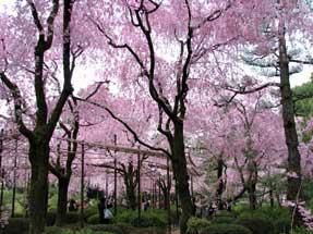 平安神宮・八重紅枝垂桜