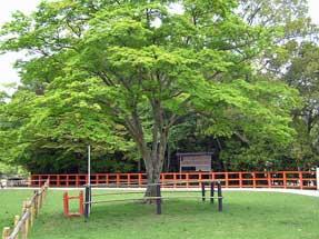 上賀茂神社・勝負の楓