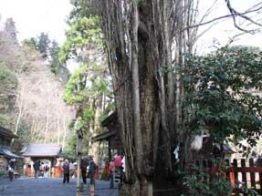 貴船神社・桂(御神木)