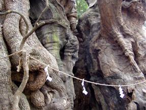 樹齢2000年のクスノキ